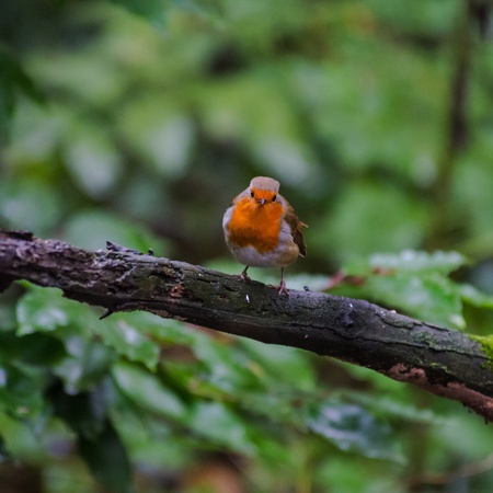 Robin Red Breast Bird perched on a tree branch