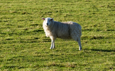 white wool sheep  looking at camera with winter coats in a green grass field