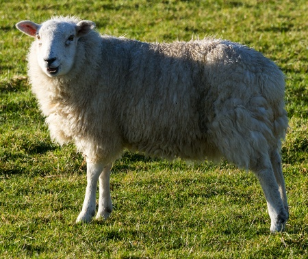 white wool sheep looking at camera with winter coats in a green grass field  Stock Photo