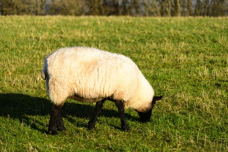 white wool sheep with winter coats in a green grass field