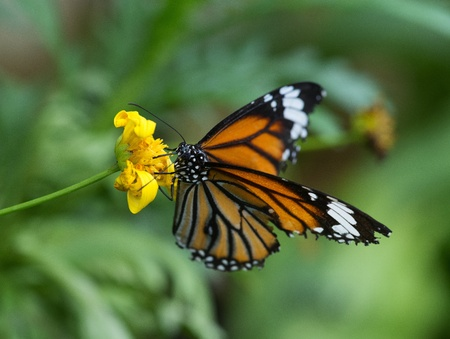 Monarch Butterfly on a yellow flower Stock Photo