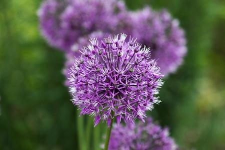 Purple Allium flowers in a garden Stock Photo