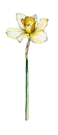 Botanical illustration of a daffodil flower on white background 写真素材