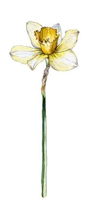 Botanical illustration of a daffodil flower on white background Banque d'images