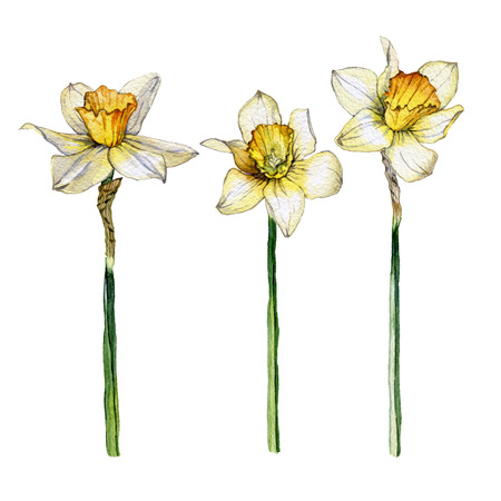 Botanical illustration of a daffodil flower set on white background