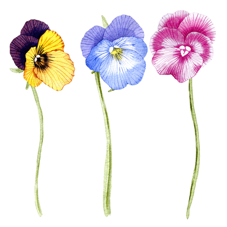hand drawn watercolor Pansy flower set