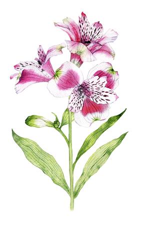 Hand drawn watercolor Alstroemeria flower