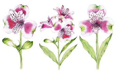 Set of hand drawn watercolor Alstroemeria flower Reklamní fotografie