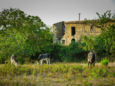 house donkey: Donkeys eating grass at Sicily Editorial