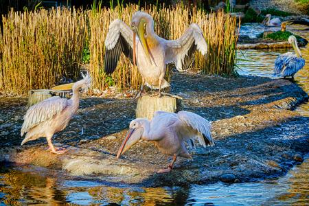 giardino: White Pelicans