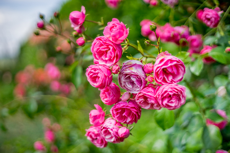 Teehybrid, Pink Paradise Rose Stock Photo, Picture And Royalty Free ...