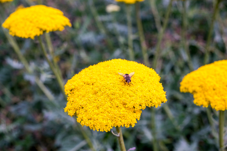 sucks: yellow, yarrow, fly, hoverfly, flowers, vespa, florets, nectar, mimic, black, striped, syrphidae, syrphus, shiny, sucks, golden, common, eats, mimicry, proboscis, syrphini, wings, feeds, european, abdomen, eyes, pollen, stripes, plant, insect, transparent