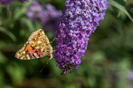 A peacock butterfly on Lilac flower.