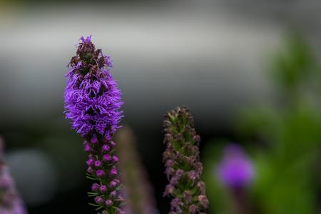 flowering purple loosestrife plant (Lythrum Salicaria)