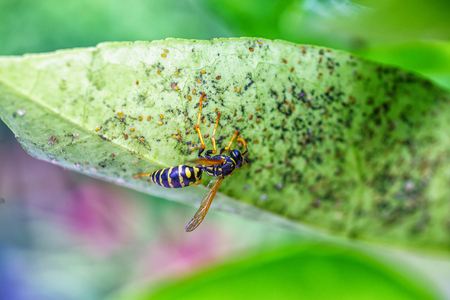 wasp siiting on leaf an eating  aphids