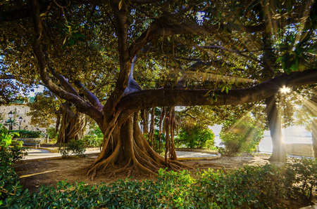old ficus tree in near by Fountain of Arethusa, Syracuse city, Sicily, Italy