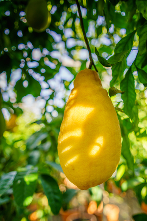 lemon from Sicily on the tree