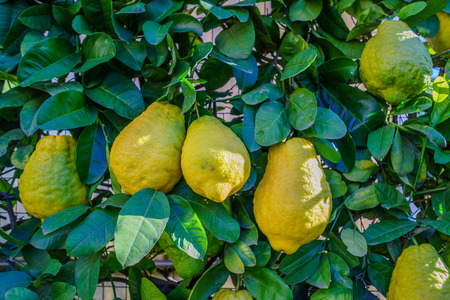 Group of three lemons from Sicily on the tree Stock Photo