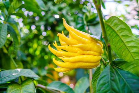 Gele organische Boeddha's Hand citrusvruchten met vingers uit Sicilië Stockfoto