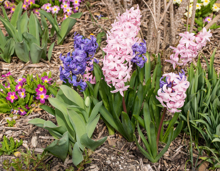 close p: Flower bed with Hyacinths