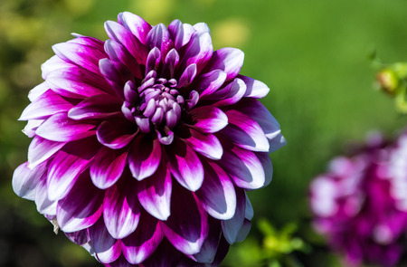 zest for life: Dahlias Stock Photo