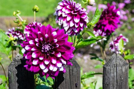Dahlias at the garden fence photo