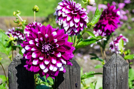 zest for life: Dahlias at the garden fence