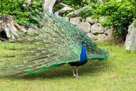 strut: Peacock
