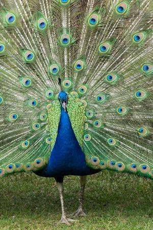 peacock wheel: Peacock
