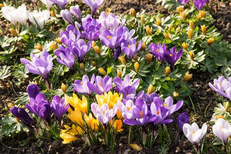 de lente met krokussen