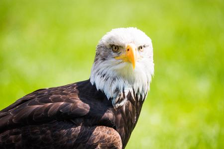 calvo: weikopfseeadler