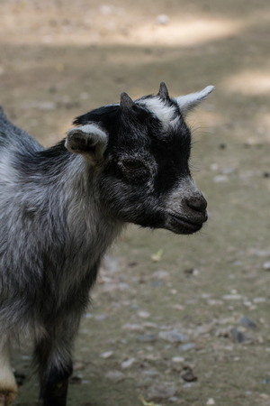 billygoat: kid