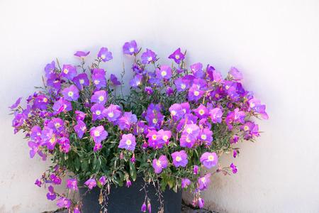 petunias: Petunias Stock at a house wall