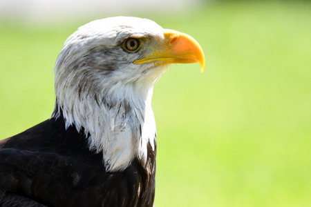 bald eagle: bald eagle