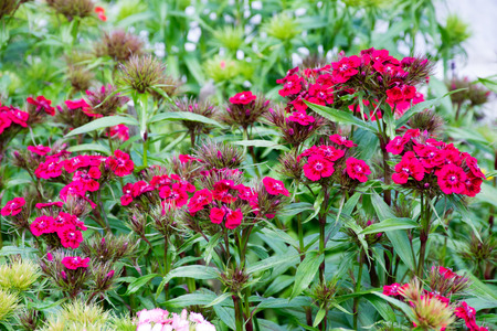 carnations: Purple carnations in the garden, sweet williams Stock Photo