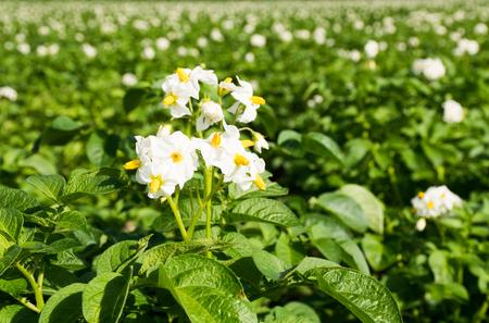 Blossoms of a potato plant Stock Photo