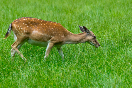 Reh a fallow deer on a meadow Stock Photo