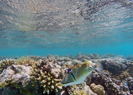 Picasso Triggerfish in the coral reef under the water surface Stock Photo