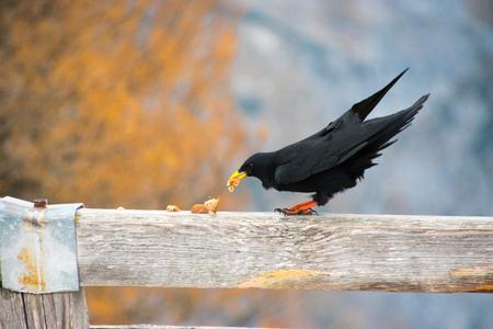Alpine Chough, Corvus graculus