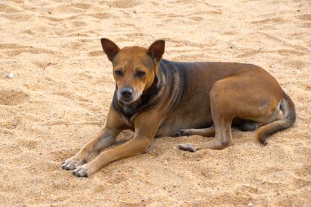 Stray dog on the sand beach