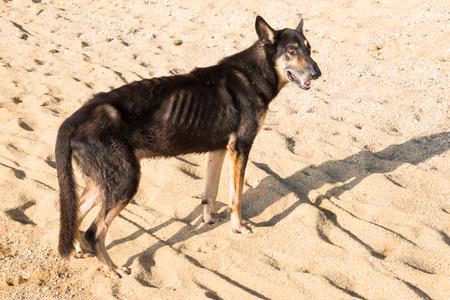emaciated dog on the beach