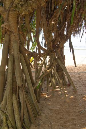 Mangrove on the sandy beach