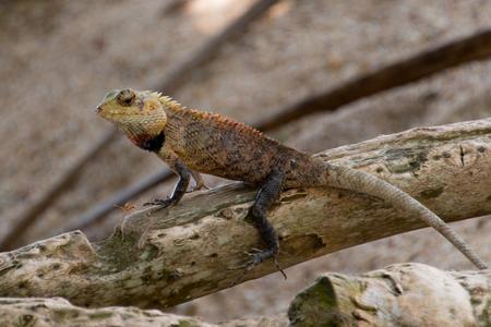 Chameleon Stockfoto