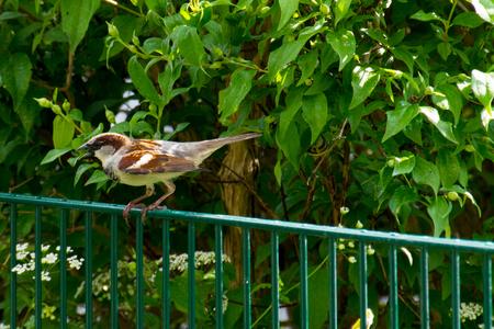 Sparrow, sperling on a garden fence