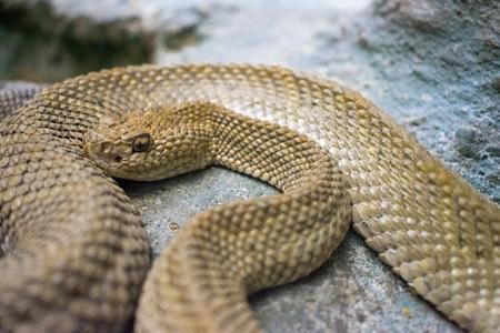 rattlesnake, snake, poisonous