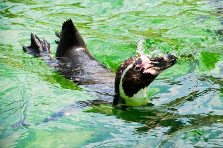 humboldt penguin, Humboldt penguin, penguin