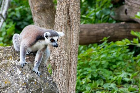 maki, lemuridae, lemur