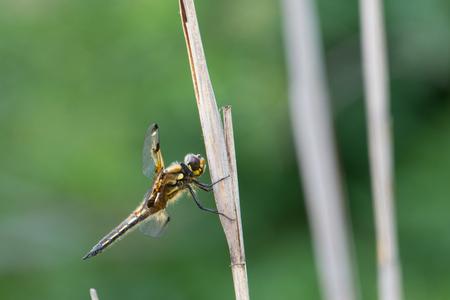 dragonfly, Lestes sponsa