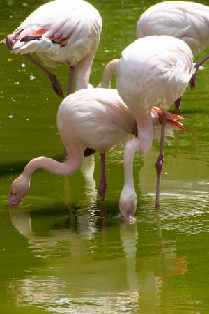 Pink Flamingo, Phoenicopterus roseus