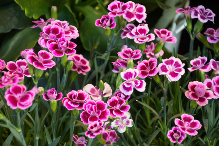 pink carnations Stockfoto